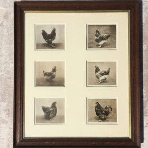 Six lithographic prints from photographs of prize chickens.